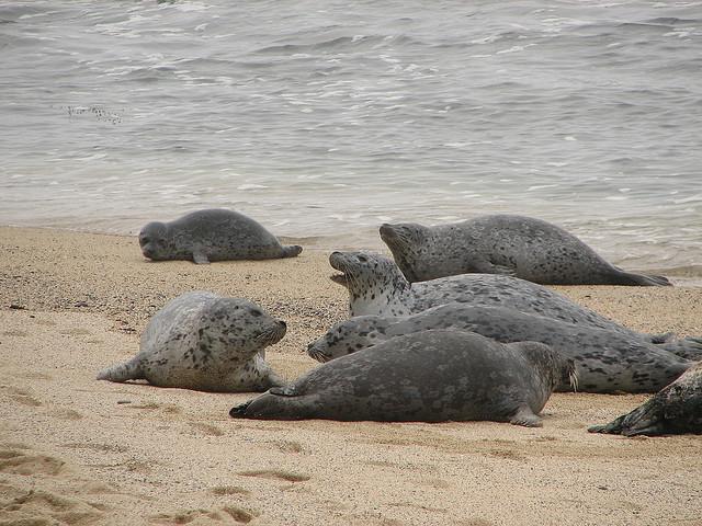 Тюлени (seals) отдыхают на берегу