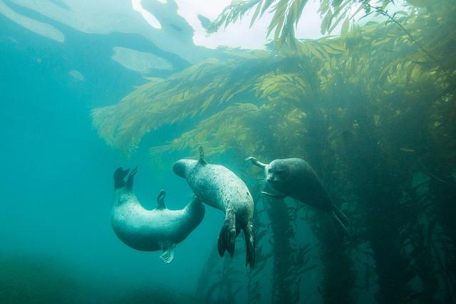 Стайка тюленей развлекается в воде (seals)