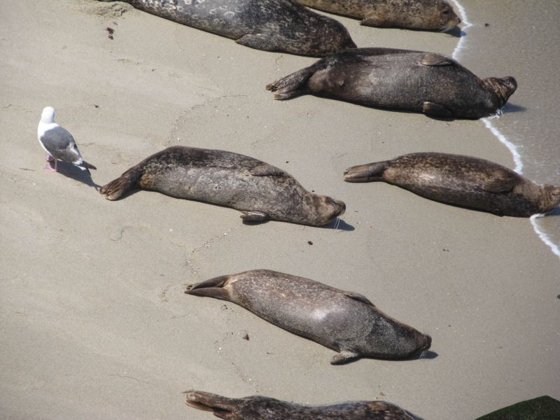 Ласты настоящих тюленей (seal)