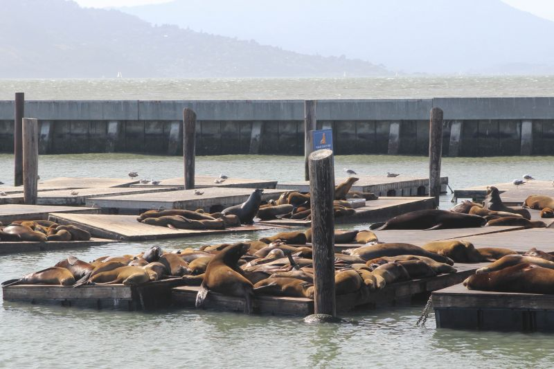Морские львы на пирсе 39 в Сан-Франциско