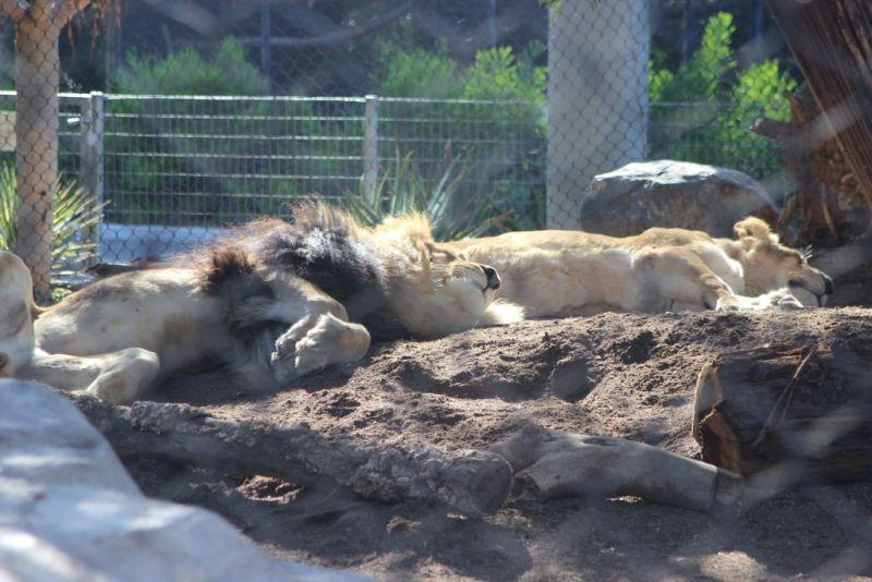 Тропа кошачьих в зоопарке Сан-Диего. Полуденный сон львов