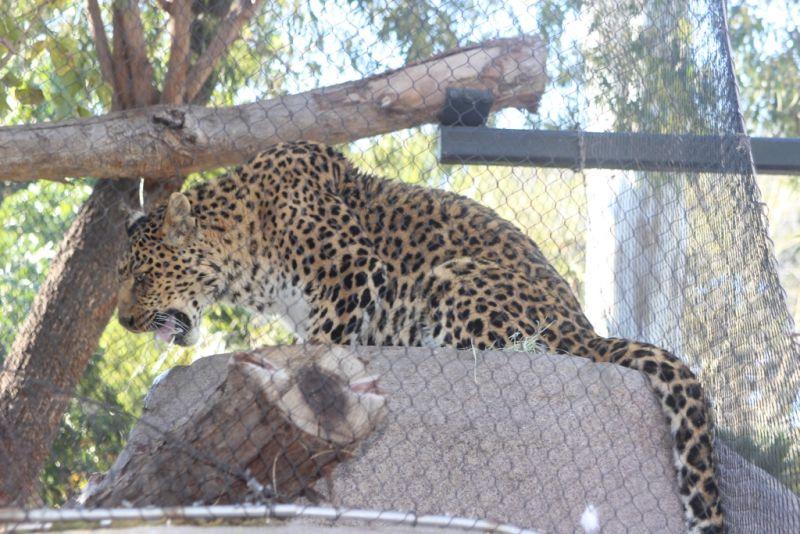 Тропа кошачьих в зоопарке Сан-Диего. Большая пятниская кошка