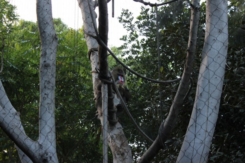 Обезьянья тропа зоопарка Сан-Диего. Мандрил