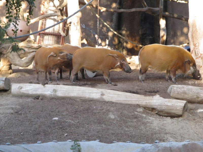 А еще в зоопарке Сан-Диего можно встретить рыжих диких свинок