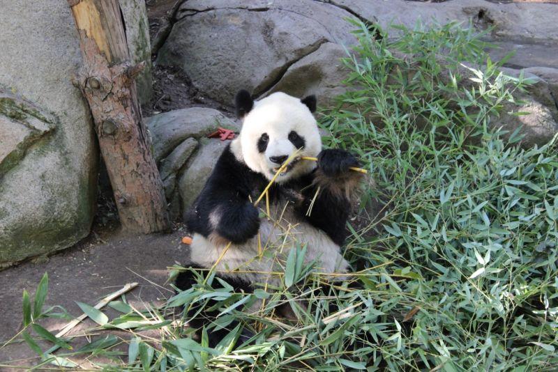 Мишка очень любит бамбук