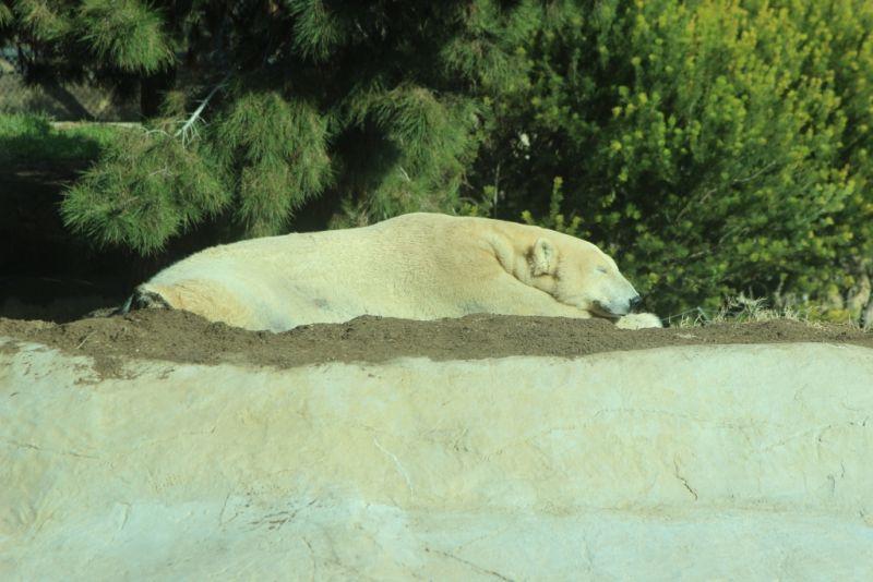 Полярный белый медведь спит и не стесняется посетителей зоопарка Сан-Диего