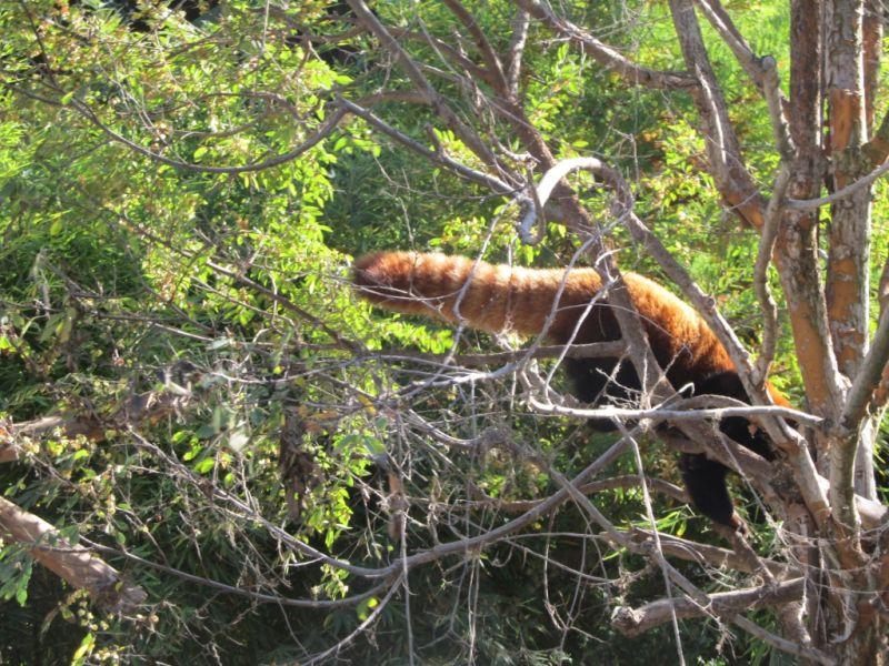 Рыжих панд и их хвосты
