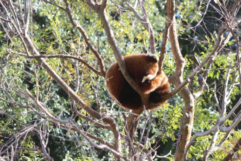 В зоопарке Сан-Диего можно встретить и рыжих панд