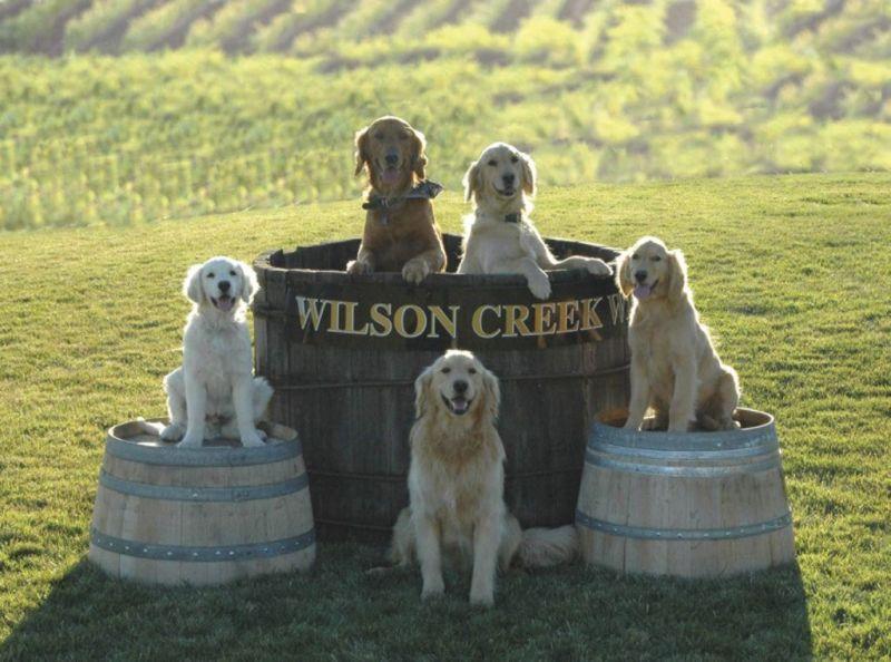 Ретриверы из винодельни Wilson Creek в Темекуле