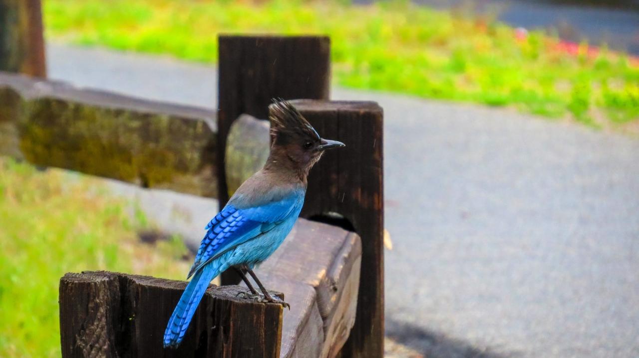 Йосемити парк. Долина Йосемити. Забавная синяя птица
