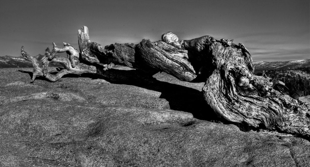 Йосемити парк. Остатки сосны на вершине Sentinel Dome