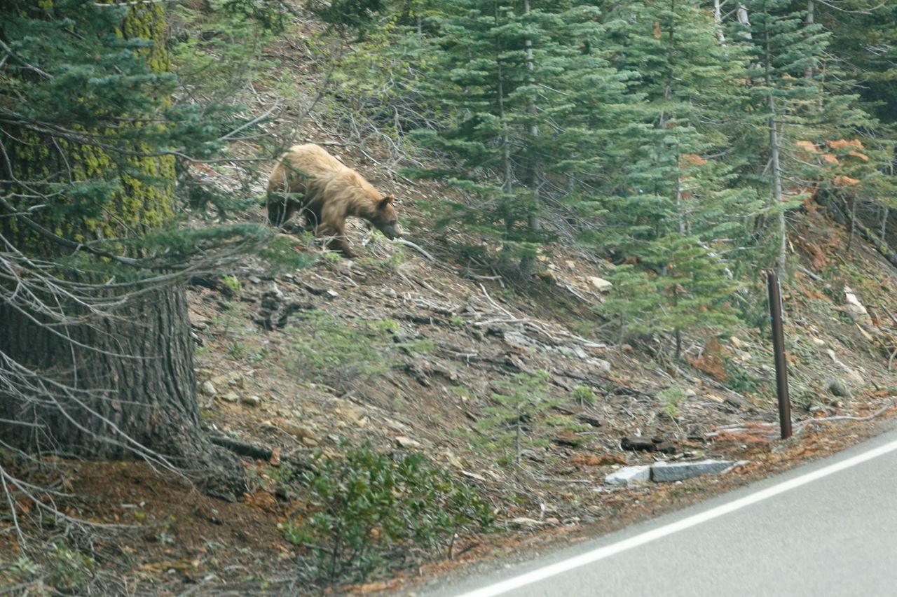 Йосемити парк. Медведь