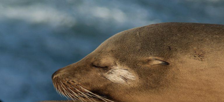 Как не попасть впросак перед ребенком и не перепутать морского котика со львом или тем более тюленем?